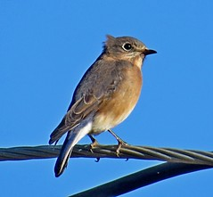 Eastern Bluebird, Rockingham County, NH 9/25/16 (LJHankandKaren) Tags: bluebird easternbluebird urbanforestrycenter