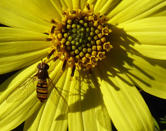 Marmalade fly on Lemon Queen (Durley Beachbum) Tags: episyrphusbalteatus insect hoverfly flower helianthuslemonqueen september bournemouth