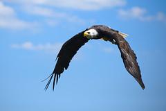 Weikopfseeadler im Flug, Bald eagle is flying (3 (Jrg Arlandt) Tags: 70300mm adler d610 greifvogel nikon tiere tierfoto tierportrait urlaub2016 vogel weiskopfseeadler