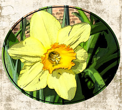 Daffodil (boeckli) Tags: daffodil osterglocke flowers flower plants plamt pflanzen outdoor yellow gelb textures texturen posterized pse14 tte topaz bettyjomartin colour colours colors farbig bunt