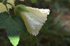 Water Garden 4 (Implexus and Immodestia) Tags: water garden macro leaf droplet