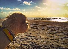 Cookie Eyes the Horizon (johnnyp_80435) Tags: dog horizon shihatzu beach seashore kleberg coast gulf texas nationalseashore padreisland