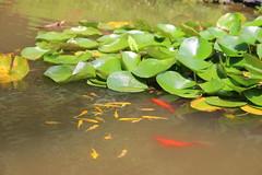 IMG_9637 (猜测) Tags: 北京 门头沟区 潭柘寺 莲花 鲤鱼