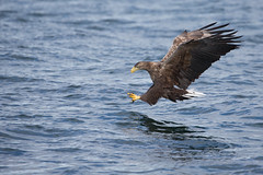 White-tailed sea eagle (Andy Davis Photography) Tags: mull canon haliaeetusalbicilla eagle fishing flying sea loch iolairemhara theeaglewiththesunliteye