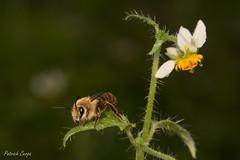 Cadeguala en Loasa triloba (Patrich Cerpa.) Tags: insectos abejas