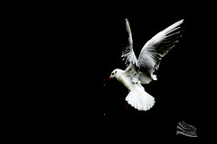 Mouette rieuse (http://www.jeromlphotos.fr) Tags: bretagne britany breizh mouette noir blanc black white bird oiseau