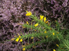 Ulex gallii (Western Gorse) with Heather, Walberswick Common, Suffolk, 5.9.16 (respect_all_plants) Tags: westerngorse ulexgallii walberswick walberswickcommon suffolk wildflowers