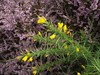Ulex gallii (Western Gorse) with Heather, Walberswick Common, Suffolk, 5.9.16 (respect_all_plants) Tags: westerngorse ulexgallii walberswick walberswickcommon suffolk wildflowers