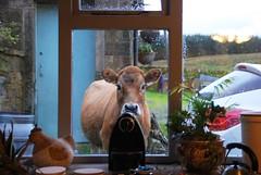 Avec ou sans lait, l'expresso? (dominiquita52) Tags: countryside farm cow vache milk lait nespresso expresso coffee caf tendre