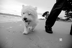 My Beach (Gomerama) Tags: blackandwhite bw beach dogs monochrome walk westie canine bonnie westhighlandwhiteterrier 2012 walkie mybeach gomerama bonniethewestie