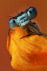"Damselfly ""My special blanket"" (Muzby1801) Tags: above family blue autumn summer hairy baby colour detail macro green eye nature beautiful up canon insect lens creativity spider photo interestingness spring fight amazing nice interesting eyes funny close wasp dragonfly wildlife ant extreme watch great bugs 100mm best frog sharp bee bbc tiny crop times 28 manual common popular lifesize damselfly armour emerald mimic antenna hoverfly sensor damselflies hairs robber 4x stacker mpe 65mm 3x springwatch 5x photostack zerene 60d countryfile macrolife"