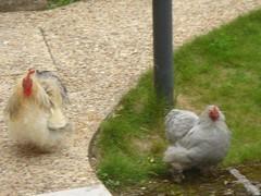 Valandraud pet chickens