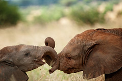 Tenderness in the wild (Jose Antonio Pascoalinho) Tags: africa playing elephant nature animal tanzania cub nationalpark nikon outdoor biosphere safari environment tenderness tarangire ecosystem biodiversity wildelife paquiderme safariphotography zedith