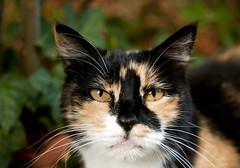 Micio (BleikVs) Tags: cats reflex nikon occhi gatto nero arancione micio capodimonte bleikvs