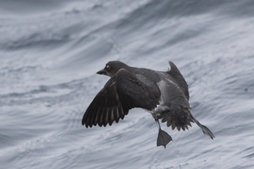 <p>The Cassin's Auklet is a small alcid, about the size of a Nerf Football when it flies. It is uniformly greyish with a pale belly and when seen up close it has a white spot above the eyes. </p>