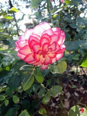 Roses - Floribunda rose 'Tabris' - Rosaceae SC20120826 319 (fotoproze) Tags: roses canada rose quebec montreal rosen gl rosas rozen 2012 roser    rosor mawar jardinbotaniquedemontral rsir re re  montrealbotanicalgardens trandafiri arrosak ruusut hoahng       rue    rzsk queenrose vrtnice ris  rhosynnau