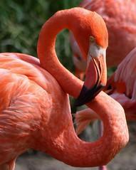 Eight Shades of Pink (PelicanPete) Tags: pink white bird rose closeup colorful unitedstates flamingo longneck pinkflamingo southflorida naturesfinest miamiflorida supershot specanimal fantasticnature avianexcellence adorablecritters birdperfect zoomiami naturallywonderful aviancapture dmslair thesunshinegroup sunrays5 missionstatementtoencourageanappreciationfortheworldswildlifeandtohelpconserveitforfuturegenerations