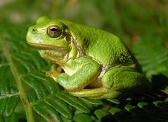 Hyla arborea - Common Tree Frog - Rainette verte - 07/09/12 (Philippe_Boissel) Tags: france europe bretagne morbihan 006 reptiles grenouille anura hylidae hylaarborea erdeven batracien commontreefrog rainetteverte hennysanimals