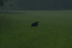 The boar grazed on the field of young oats before sunrise. (OlgaKen) Tags: photocontesttnc09 photocontesttnc12