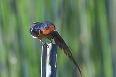 Barn Swallow (Hirundo rustica erythrogaster) DDZ_1738 (NDomer73) Tags: 02july2012 july 2012 malheurnationalwildliferefuge malheur bird barnswallow swallow burnsoregon burns