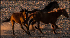 Dashing-in_IMG1466 (Mel Gray) Tags: aus namibia wildhorses