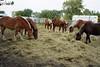 Autumn On The Farm (Roofer 1) Tags: autumn horse belgian winners workhorse bej damniwishedihadtakenthat