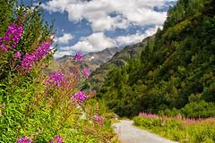 Sentiero tra i fiori (cesco.pb) Tags: flowers italy alps canon italia path fiori sentiero alpi montagna montains altoadige valleaurina sudtyrol casere alpiaurine efs1855mmf3556is canoneos1000d
