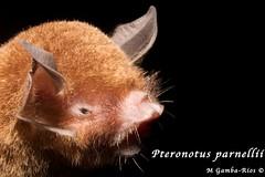 Pteronotus parnellii