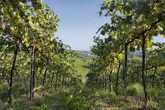 In the vineyard (Leonardo Del Prete) Tags: vineyard panoramica pesaro marche vigneto vigna sanbartolo montesanbartolo