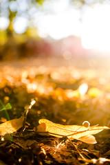 autumn study (Tafelzwerk) Tags: autumn light gold golden licht nikon bonn laub herbst blatt bltter gegenlicht leafe d7000 tafelzwerk
