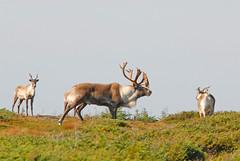 12 26 09_5258 (Mark R. Tsang) Tags: caribou rangifertarandus markrtsangphotography