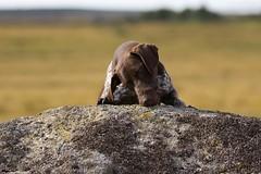 Treat for me (Peaf79) Tags: dog photoshoot hound bert tor dartmoor germanshorthairedpointer httpwwwdartmooranimalphotographercouk debbiefuller bertsproshoot devondogboarding
