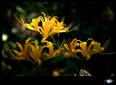 ! Blooming ! (Fei 28) Tags: voigtlander olympus 12 35 ep1