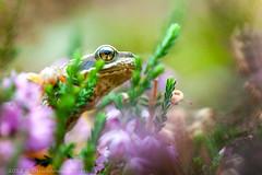 _MG_0472 (Den Boma Files) Tags: fauna dieren kikker amfibieen stropersbos