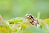 _MG_0392 (Den Boma Files) Tags: fauna dieren kikker amfibieen stropersbos