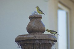 DSC_2762 (RHMImages) Tags: bird nature fountain yard landscapes thirsty