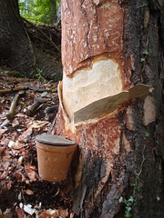 Pech gehabt! – Investigations on Pinus nigra with and without tapping