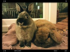 Bunnies make everything better ! (Mark Philpott) Tags: pets house holland bunnies netherlands soft dwarf sable fluffy samsung mini rabbits marten loved lop siii flickrandroidapp:filter=none
