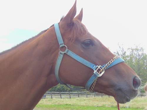 Led Advantage 5 Year Old 17h Chestnut Mare Price