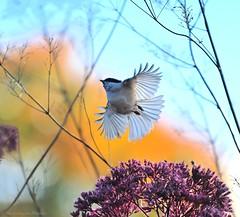 To the skies! (279-366) (nikkorglass) Tags: oktober nikon october nikkor 70200 f28 2012 279 willowtit talltita specanimal poecilemontanus nikkorglass d700 366project 279366