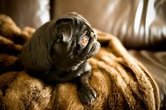 Marley (dhansak79) Tags: dog black 35mm 1 xpro fuji f14 pug fujifilm marley fujinon