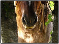 Good Morning Susie Soho (Hier7) Tags: horses france animal cheval pony vendee vende poney paysdelaloire lesherbiers