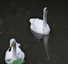 Whistling Swans, Central Park Zoo (Ed Gaillard) Tags: bird zoo centralparkzoo whistlingswan
