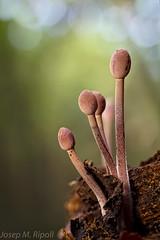Mycena haematopus (JM Ripoll) Tags: barcelona nature forest lens mushrooms spain bosque fungus funghi through pilze wald svamp mycology pilz champignons setas fong bosc foresta the fungo bolets micologia mikologia onddo mycenahaematopus mycologie olzinelles pilzkunde foraoise