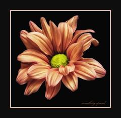 chrysant(3) (maar73) Tags: oktober flower macro flora sony special bloem chrysant mygearandme maar73 sonyslt65
