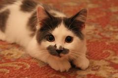Lucy 22 (sohvimus) Tags: cat lucy kitten kat chat pussy katt kissa feliscatus kissanpentu