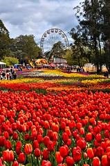 Fields of Red (evangelique) Tags: show flower color festival garden tulips australia canberra growing colourful act floriade 2012