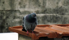 Pigeon :) (Mars.!) Tags: bird nature birds animal animals pigeon natura animali piccione natures colombo uccello volatile