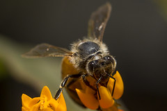Bee (pointnshoot) Tags: canonef100mmf28lmacroisusm bee