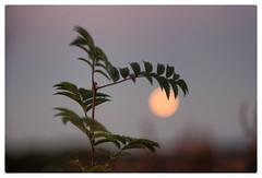 Full Moon at Sunset (Paulemans) Tags: posbank rheden moon sunset bokeh primotar meyeroptikgoerlitzprimotar1q135135